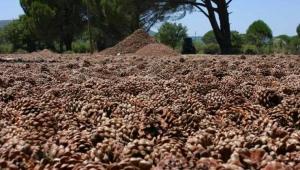 Bergama'dan Meclise 'Çam fıstığı' tepkisi