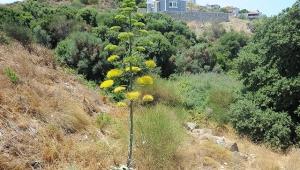 İzmir'de, UNESCO'nun dünya mirası listesindeki agave bitkisi çiçek açtı