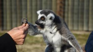 Sasalı'daki maymun ve lemurlar çerez ve kuru meyveyle besleniyor