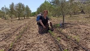 Karaburun'da 19 bin sebze fidesi büyüdü: Ürünler vatandaşın sofrasında…